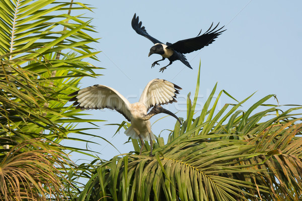 Sacred Ibis being harrassed by a Pied Crow Stock photo © davemontreuil