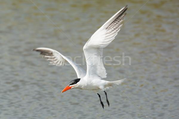 Wet Caspian Tern flying over water Stock photo © davemontreuil