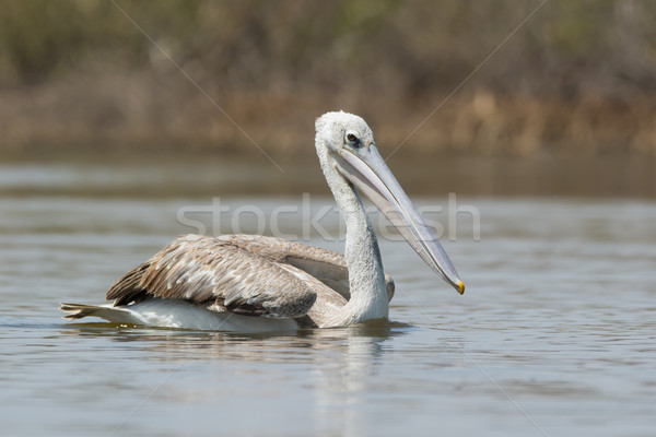 Pink-backed Pelican serenely floating by Stock photo © davemontreuil