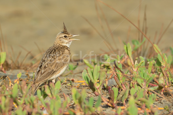 Crested Lark singing with its crest raised Stock photo © davemontreuil