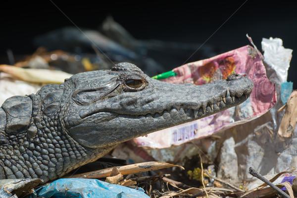 Tineri vest african crocodil gunoi viaţă Imagine de stoc © davemontreuil