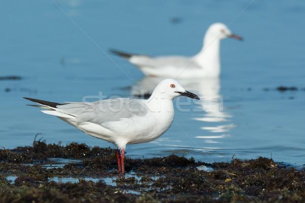 Slender-billed gulls (Larus genei) standing and swimming Stock photo © davemontreuil