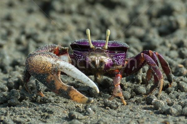 Male purple Fiddler Crab from West Africa filtering sand Stock photo © davemontreuil