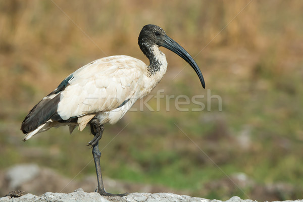 A Sacred Ibis (Threskiornis aethiopicus) balancing on one leg Stock photo © davemontreuil