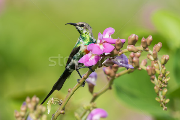 A young male Beautiful Sunbird (Nectarinia pulchella) perched on Stock photo © davemontreuil