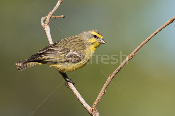 Yellow-fronted canary (Crithagra mozambicus) perched on a branch Stock photo © davemontreuil