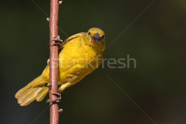 Large Golden Weaver (Ploceus xanthrops) Juvenile looking at the  Stock photo © davemontreuil