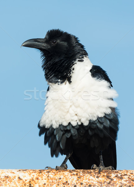 Pied Crow (Corvus Albus) fluffing his feathers Stock photo © davemontreuil