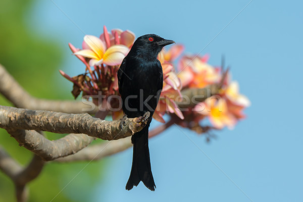 Bloei vogel vork mooie tempel Stockfoto © davemontreuil