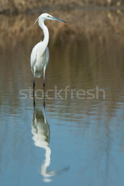 белый западной цапля отражение природы птица Сток-фото © davemontreuil