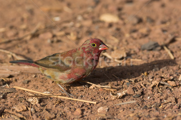 A patchy male Red-billed Firefinch (Lagonosticta senegala) comin Stock photo © davemontreuil