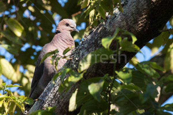 Red-eyed dove (Streptopelia semitorquata) perched in a tree Stock photo © davemontreuil