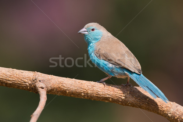 Male Blue waxbill (Uraeginthus angolensis) perched on a branch Stock photo © davemontreuil