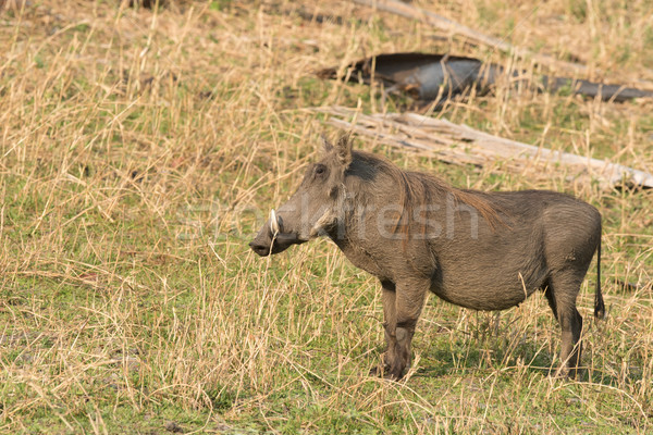 Common warthog (Phacochoerus africanus) on a grassy plain Stock photo © davemontreuil