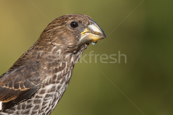 Portrait of a female Thick-billed Weaver (Amblyospiza albifrons) Stock photo © davemontreuil