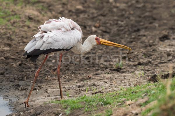 Yellow-billed stork (Mycteria ibis) holding a frog in it's bill Stock photo © davemontreuil