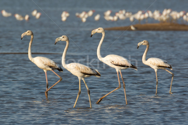 Four Greater Flamingos wading in the shallows Stock photo © davemontreuil