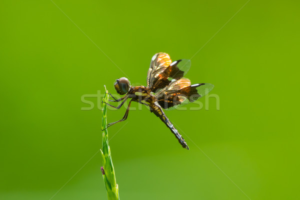Dragonfly Сток-фото © davemontreuil