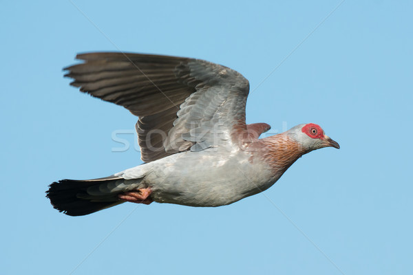 Speckled Pigeon (Columba Guinea) in Flight Stock photo © davemontreuil