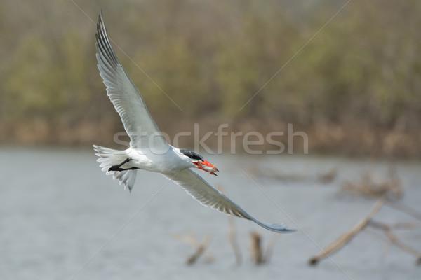 Stockfoto: Vliegen · vis · water · vogel · afrika · splash