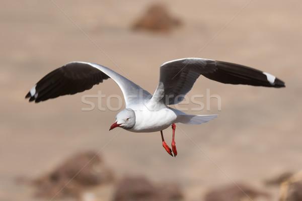 Vôo praia pássaro areia África sombra Foto stock © davemontreuil