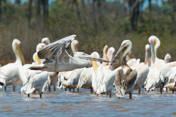 Pink-backed Pelican soars past a squadron of White-Backed Pelica Stock photo © davemontreuil