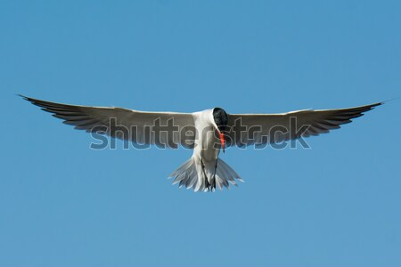 Caspian Tern in flight with classic head down pose Stock photo © davemontreuil