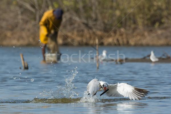 Caspian Tern resurfacing with a stick Stock photo © davemontreuil