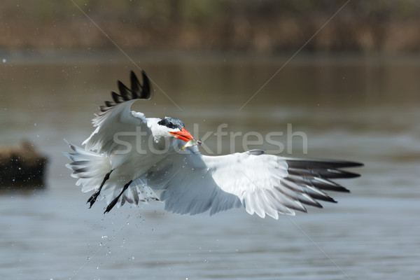 Dripping wet Caspian Tern in flight with fish  Stock photo © davemontreuil