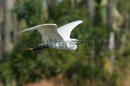 Fehér western kócsag repülés múlt pálmafák Stock fotó © davemontreuil