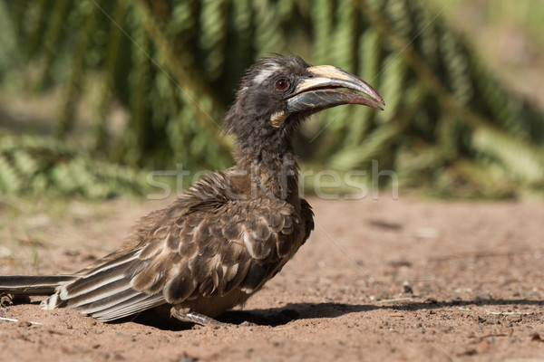 A female African Grey Hornbill (Tockus nasutus) standing after a Stock photo © davemontreuil
