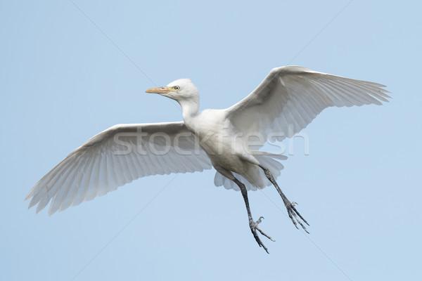 скота полет Африка крыльями африканских Flying Сток-фото © davemontreuil