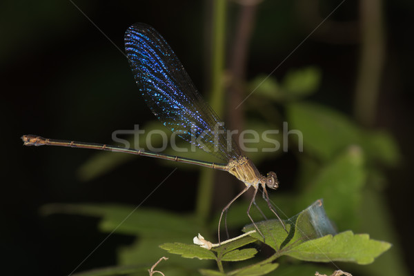 Familie Blauw afrika insect afrikaanse macro Stockfoto © davemontreuil