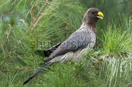 Western-Grey Plantain Eater Stock photo © davemontreuil