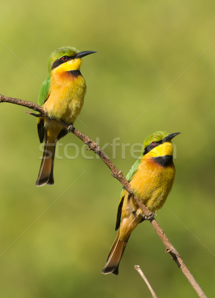 Two Little Bee-Eaters (Merops pusillus) on a branch Stock photo © davemontreuil