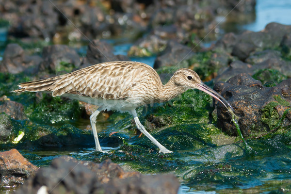Whimbrel pulling a crab out of the seaweed Stock photo © davemontreuil