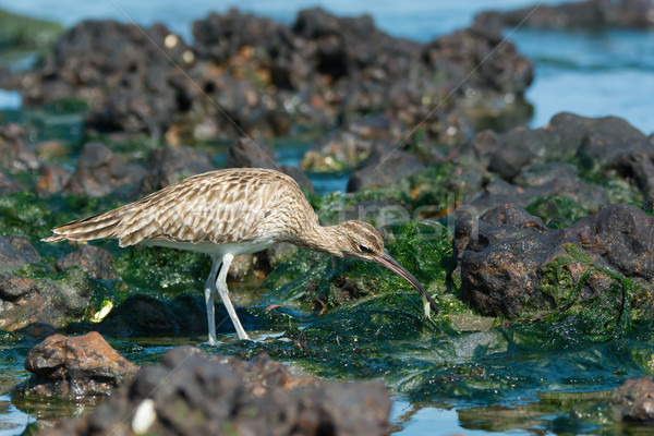 Whimbrel with small crab Stock photo © davemontreuil