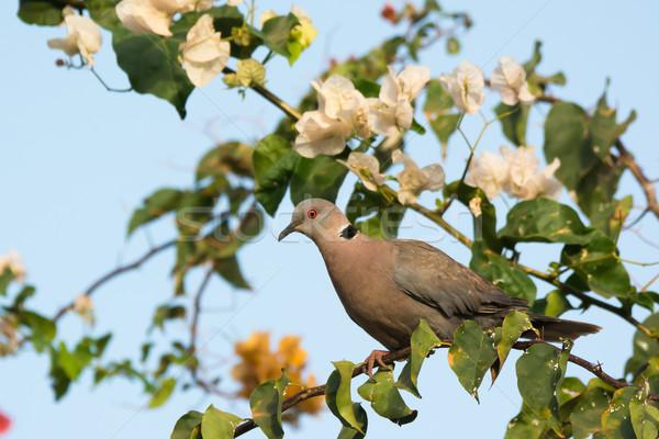 ストックフォト: アフリカ · 喪 · 鳩 · 白 · 花 · 鳥