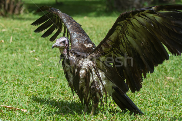 An extremely wet Hooded Vulture with its wings wide open Stock photo © davemontreuil