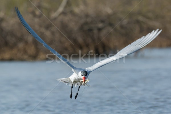 Caspian Tern in flight with two fish in its beak Stock photo © davemontreuil