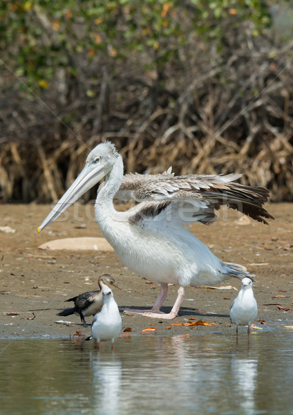 Stock photo: Pink-backed Pelican stretching its wings on the shore