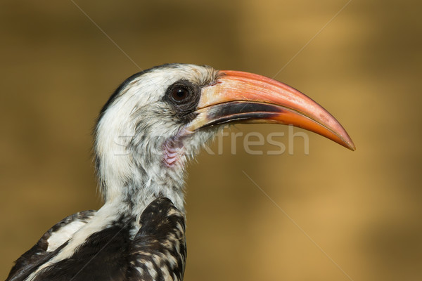 Portret westerse boom natuur Rood hoofd Stockfoto © davemontreuil