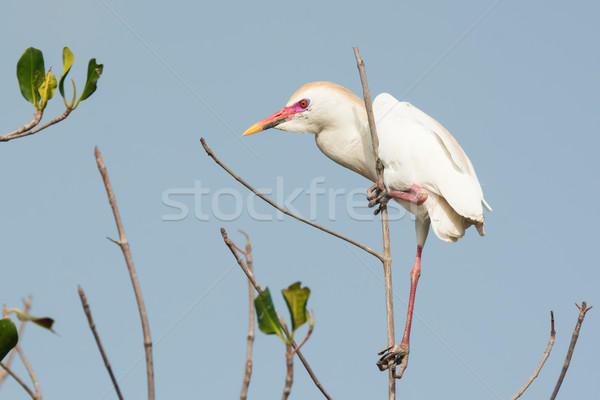 A Cattle Egret (Bubulcus ibis) with breeding plumage perched in  Stock photo © davemontreuil