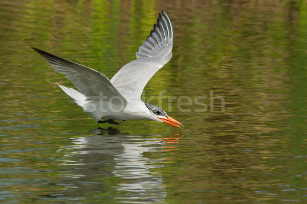 A Caspian Tern (Hydroprogne caspia) gliding low over fresh water Stock photo © davemontreuil