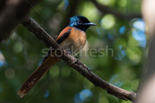 女性 アフリカ 自然 鳥 赤 楽園 ストックフォト © davemontreuil