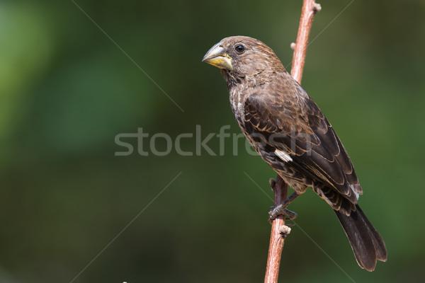 女性 自然 鳥 肖像 アフリカ アフリカ ストックフォト © davemontreuil