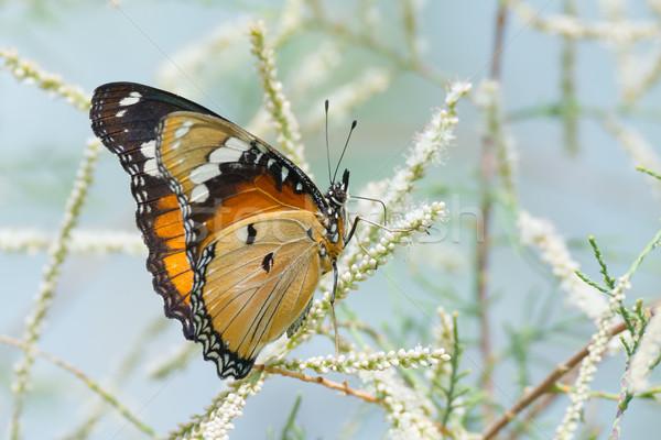 Női pillangó gyönyörű iszik nektár kicsi Stock fotó © davemontreuil