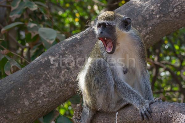 Okrutny zielone małpa Afryki zły Gambia Zdjęcia stock © davemontreuil
