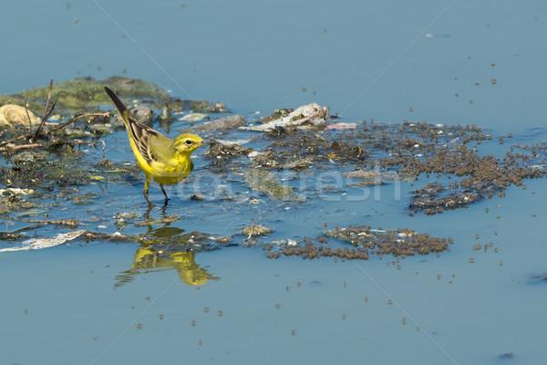 Brit citromsárga áll lebeg szemét szennyvíz Stock fotó © davemontreuil
