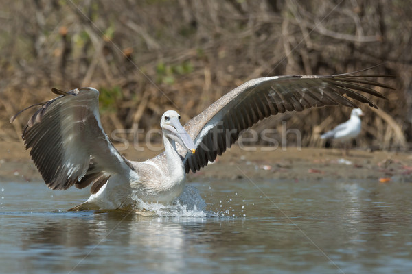 Pink-backed Pelican making a lunge for fish Stock photo © davemontreuil